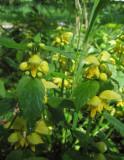 Berggulplister (Lamiastrum galeobdolon ssp. montanum)