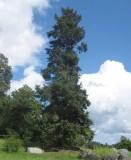 Blå douglasgran (Pseudotsuga menziesii ssp. glauca)