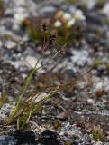 Fjällfryle (Luzula wahlenbergii)