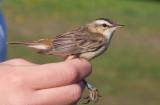 Sedge Warbler (Acrocephalus schoenobaenus)