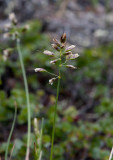 Fjällgröe (Poa alpina)
