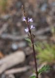 Järnört (Verbena officinalis)