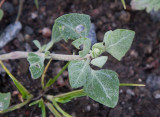Stinkmålla (Chenopodium vulvaria)