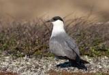 Long-tailed Skua (Stercorarius longicaudus)