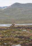 Eurasian Dotterel (Charadrius morinellus)