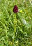 Brunkulla (Gymnadenia nigra)