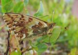 Fjällpärlemorfjäril (Boloria napaea)