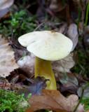 Svavelmusseron (Tricholoma sulphureum)