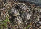 European Golden Plover (Pluvialis apricaria)