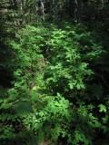 Finnros (Rosa acicularis)
