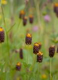 Brunklöver (Trifolium spadiceum)