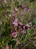 Ljungsnärja (Cuscuta epithymum)