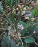 Nässelsnärja (Cuscuta europaea)