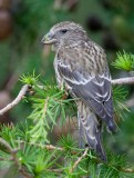 Common Crossbill (Loxia curvirostra)