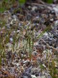 Klynnetåg (Juncus trifidus)