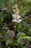 Norskpyrola (Pyrola rotundifolia ssp. norvegica)