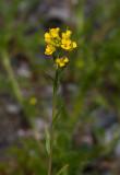 Storkårel (Erysimum cheiranthoides ssp. altum)