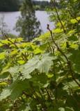 Nutkahallon (Rubus parviflorus)