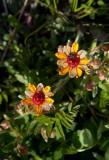 Gullbräcka (Saxifraga aizoides)