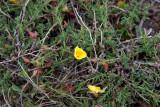 Gotlandssolvända (Fumana procumbens)