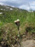 Fjällkattfot (Antennaria alpina)