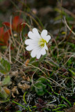 Ullig fjällarv (Cerastium alpinum ssp. lanatum)