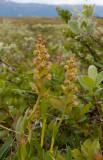 Grönkulla (Dactylorhiza viridis)