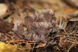 Busksvamp (Thelephora palmata)