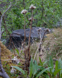 Fjällskära (Saussurea alpina)