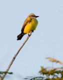 Couch´s Kingbird (Tyrannus couchii)