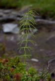 Ängsfräken (Equisetum pratense)