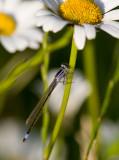 Större kustflickslända (Ischnura elegans)