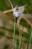 Myrull (Eriophorum brachyantherum)