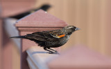 Red-winged Blackbird (Agelaius phoeniceus)