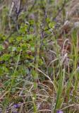 Kärrfräken (Equisetum palustre)
