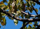 Yellow-browed Warbler (Phylloscopus inornatus)