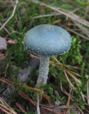 Ärggrön kragskivling (Stropharia aeruginosa)