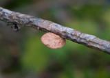 Lysticka (Hapalopilus rutilans)