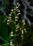Fjällruta (Thalictrum alpinum)