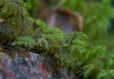 Husmossa (Hylocomium splendens)