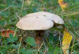 Grå lärksopp (Suillus viscidus)