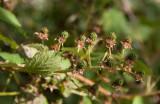 Sammetsbjörnbär (Rubus allegheniensis)