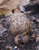 Hårig jordstjärna (Geastrum melanocephalum)