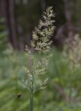 Brunrör (Calamagrostis purpurea)
