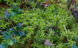 Tallvitmossa (Sphagnum capillifolium)