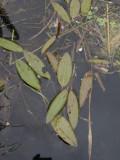 Rostnate (Potamogeton alpinus)