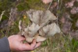 Ostronmussling (Pleurotus ostreatus)