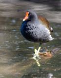 North American Common Moorhen (Gallinula chloropus cachinnans)