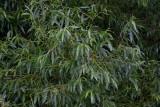 Gulpil (Salix alba var. vitellina)