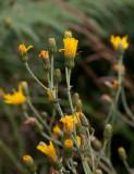 Styvfibbla (Hieracium melinostylu)
